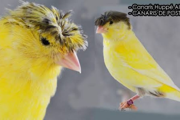 Canaris Couple Hipi